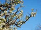 DAMAS Pear Blossoms