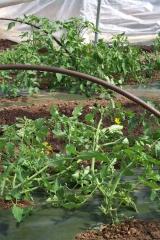 Outer Aisle Tomato Plants