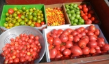 Tomatoes at Damas