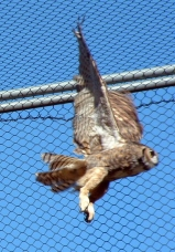 TriCounty Wildlife Owl in Flight