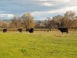 Castle Cows