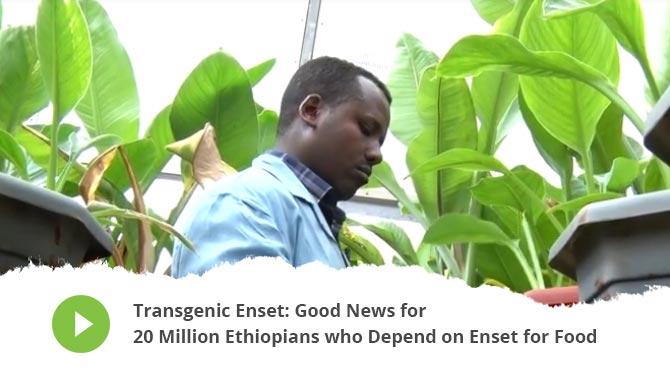 Transgenic Enset: Good News for 20 Million Ethiopians who Depend on Enset for Food