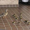 Duck Round-up