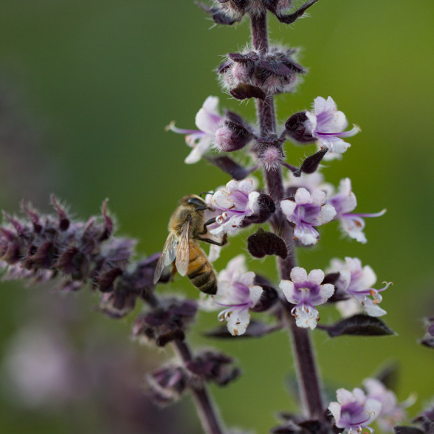 Our Bees indulging in Tulsi
