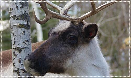 Reindeer in Truro