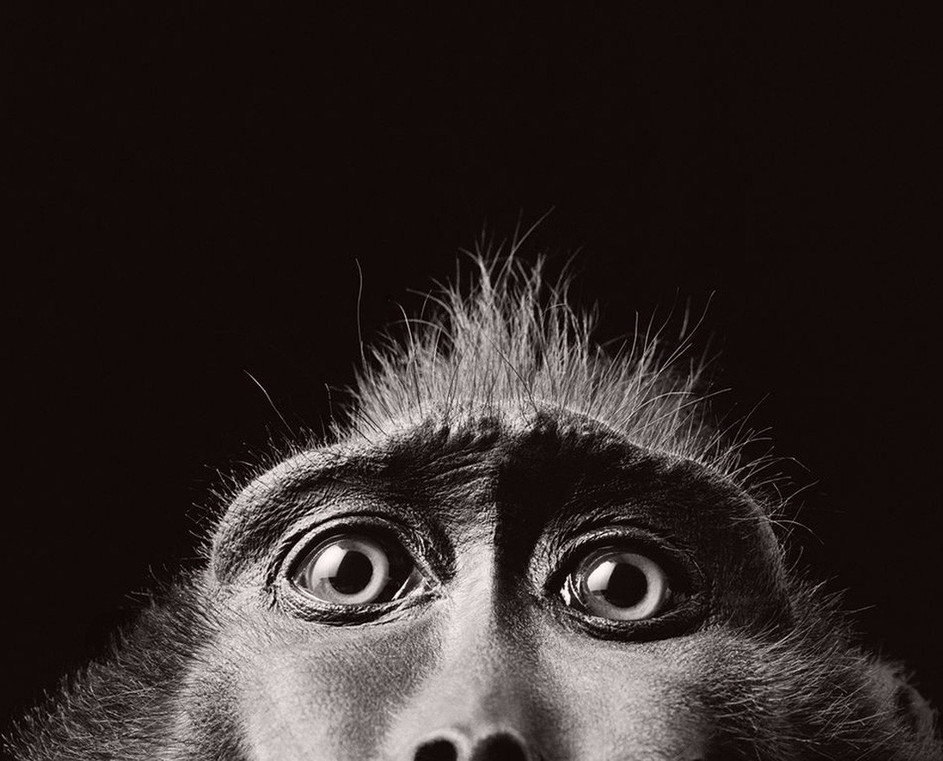 Monkey Eyes by Tim Flach,
