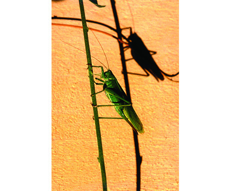 Grasshopper and Shadow by John Hedgecoe