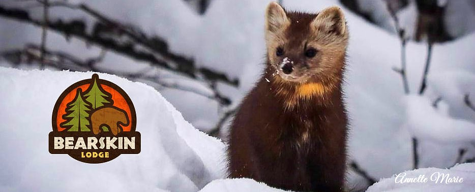 Pine marten in the snow, by Annette Cozzi