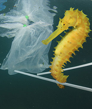 Yellow seahorse with plastic bags and straws floating around
