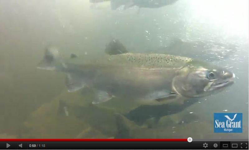 Salmon videos