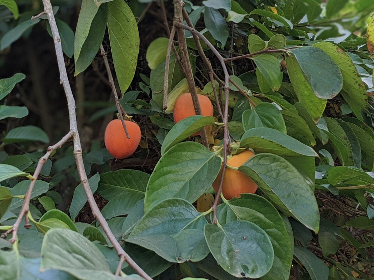 Hachiya Persimmons on the Tree