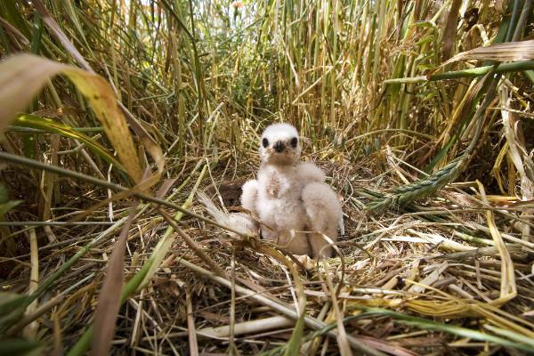 busard-cendré-strobel