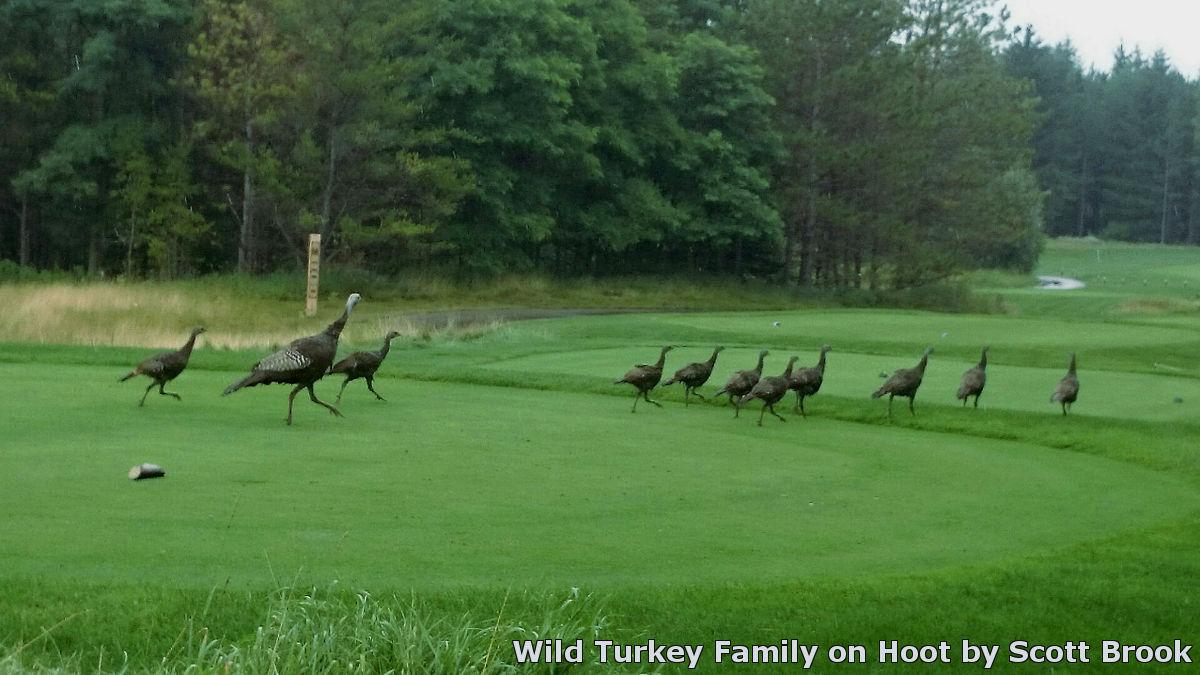 Wild Turkey Family on Hoot by Scott Brook