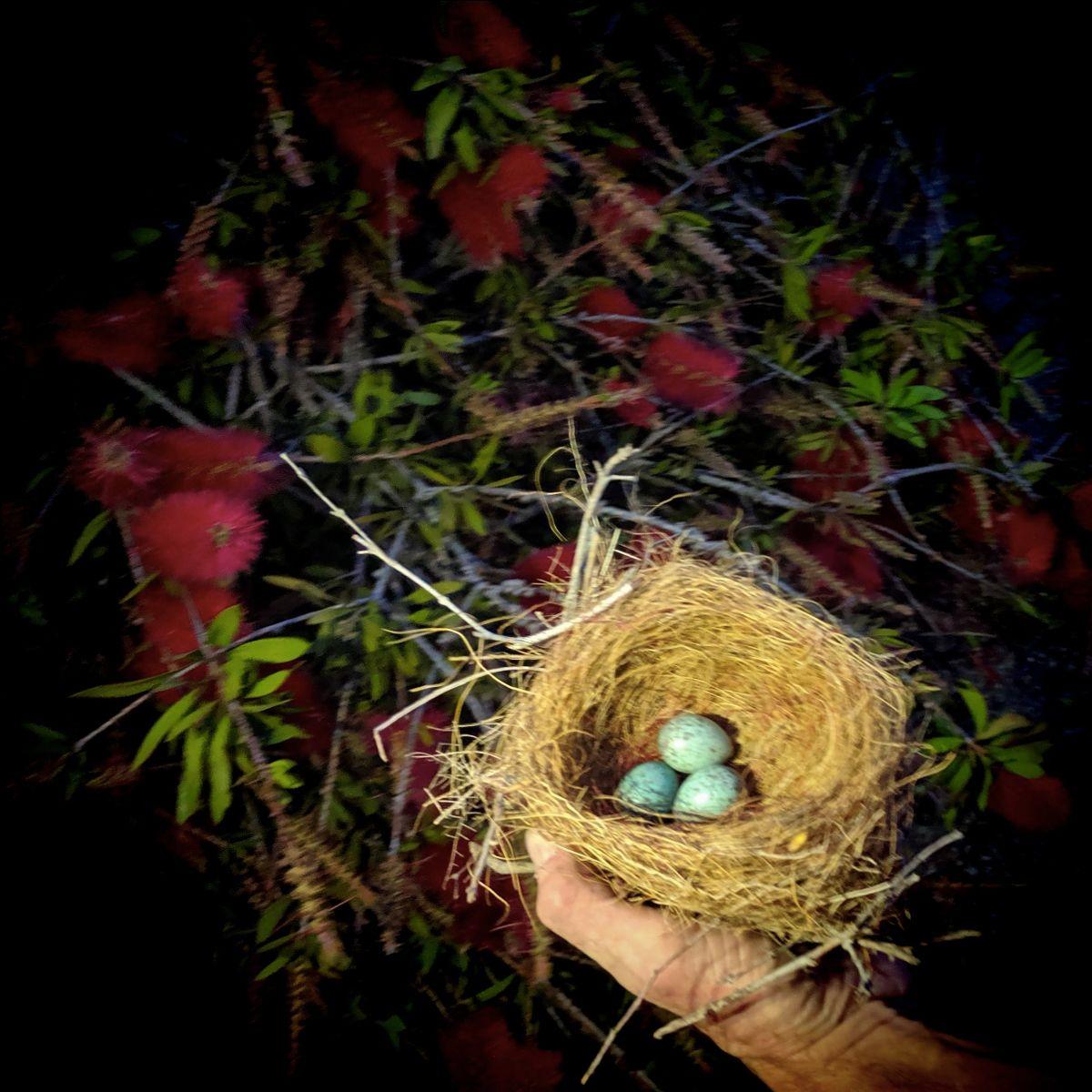 Scrub Jay Nest