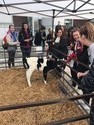 university of nebraska-lincoln students learning about dairy calves