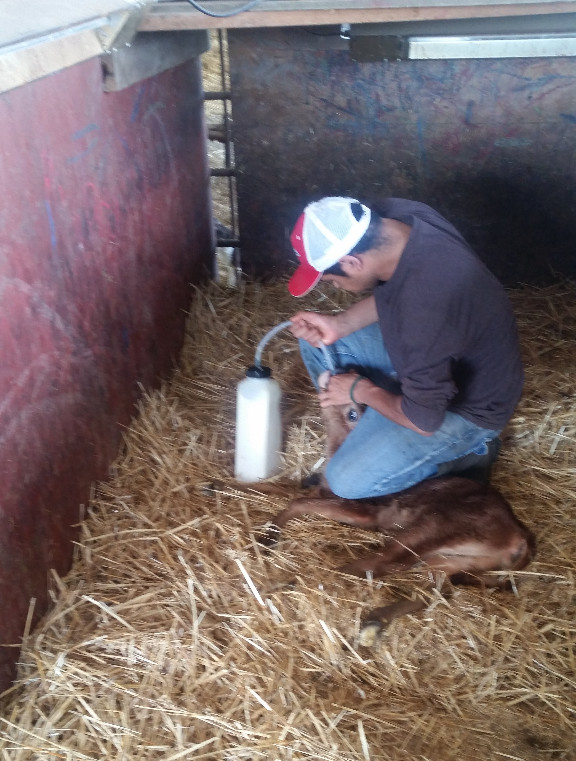 Calf receiving colostrum