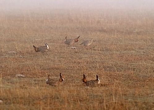 Greater Prairie-chicken lek
