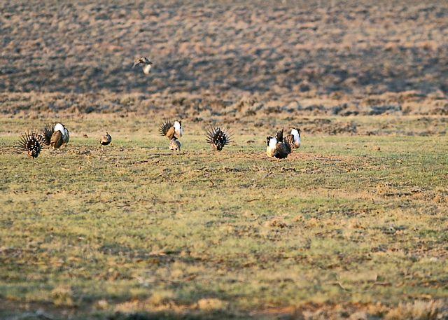 Greater Sage-grouse Lek
