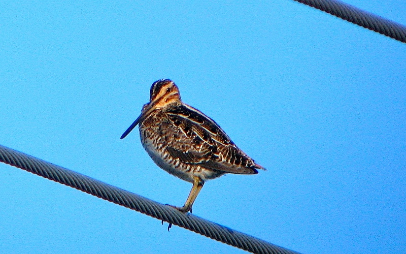 Wison's Snipe on Telephone wire