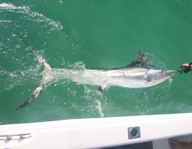 Boatside black marlin