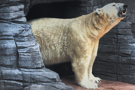 polar-bear-singapore-zoo