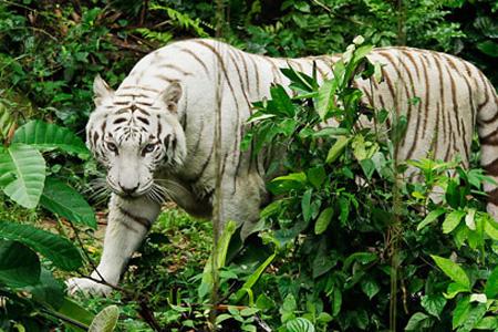 white-tiger-singapore-zoo
