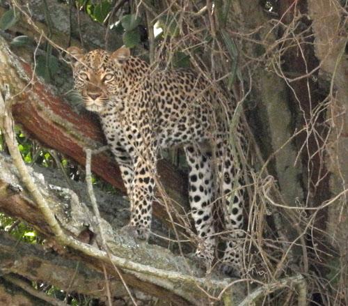 Rare Leopard