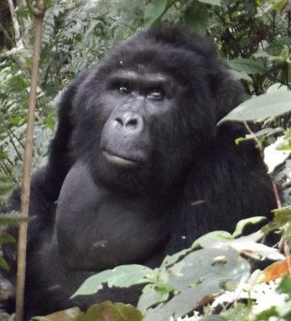 Gorilla Treks