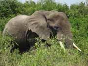 Elephant in my Garden