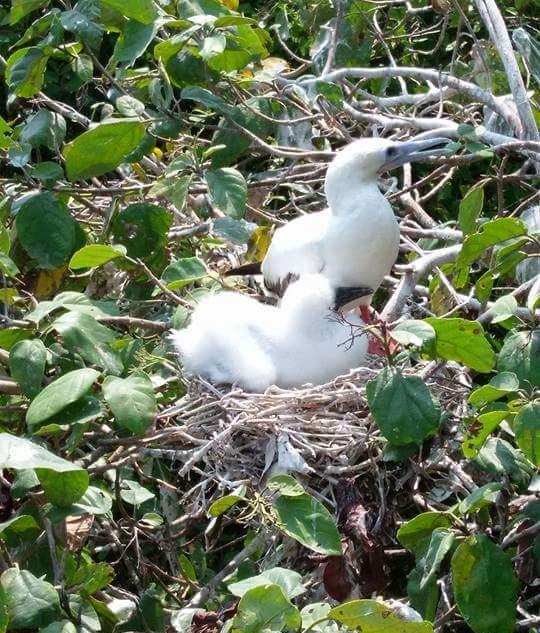 Boobie Birds on Half Moon Caye