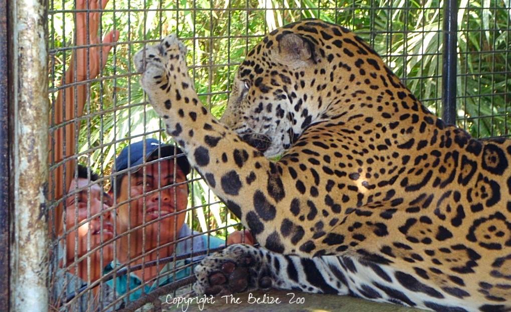 The Belize Zoo Jaguar