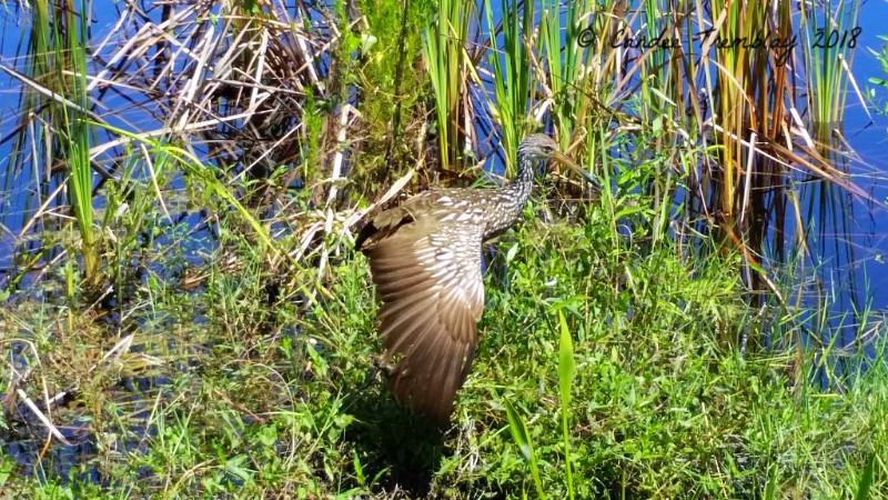 Limpkin in Belize