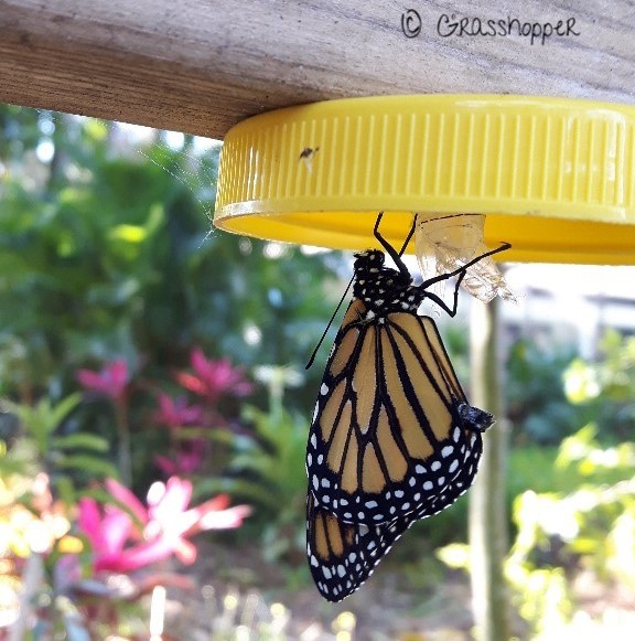 Monarch Butterflies in Belize