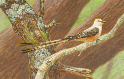 Scissor-tailed Flycatcher by Wes Siegrist