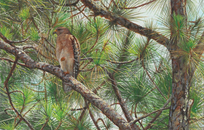 Red-shouldered Hawk painting by Wes Siegrist