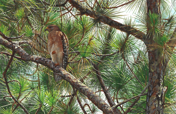 Hawk painting by Wes Siegrist