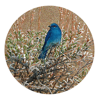 Mountain Bluebird by Wes Siegrist