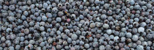 Burke Hill Farm Blueberries