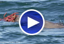 Male humpback dolphins presenting females with large marine sponges