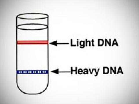 Image of DNA from the Pulse-Chase experiment