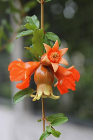 Pomegranate flower and fruit on branch