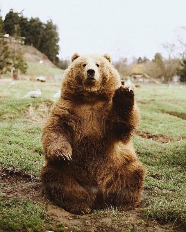 Imagem de um urso sentado sobre a grama como se fosse uma pessoa. Ele acena com a pata esquerda e olha para a câmera, parecendo sério.