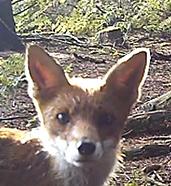 Fox on the camera trap