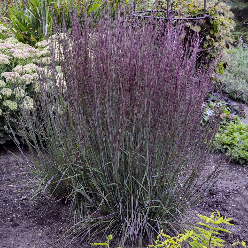 "Schizachyrium scoparium Prairie Winds® ""Blue Paradise"""