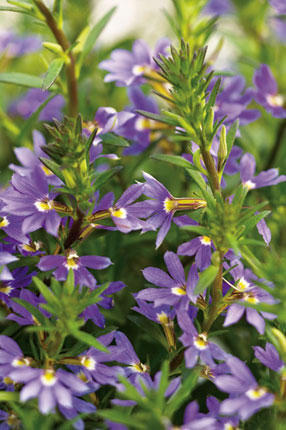 Whirlwind Blue Scaevola from Proven Winners