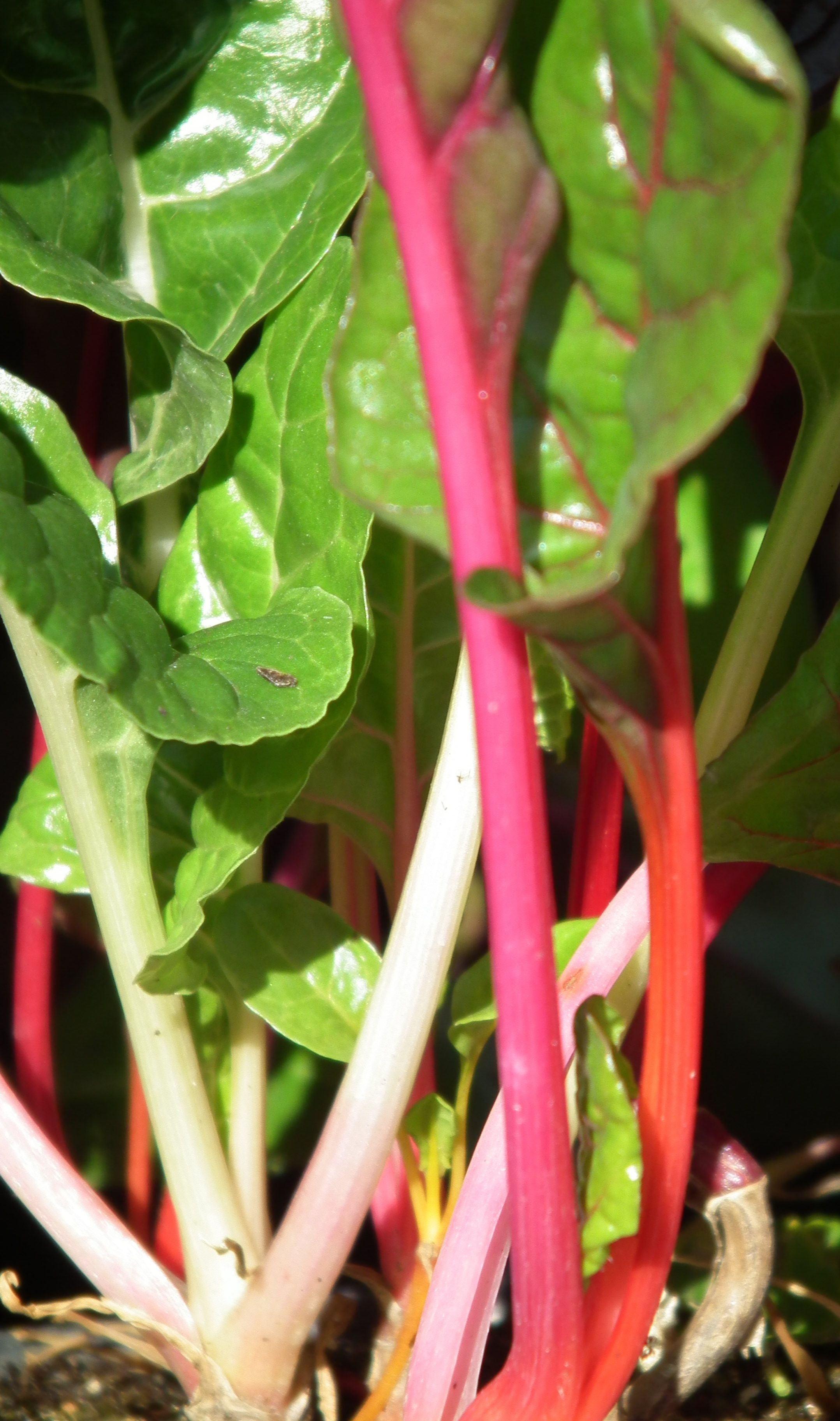 "Swiss chard ""Bright Lights"""