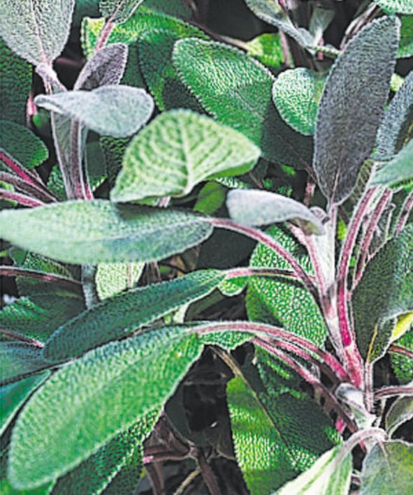 Purple Sage, photo courtesy Proven Winners, www.provenwinners.com