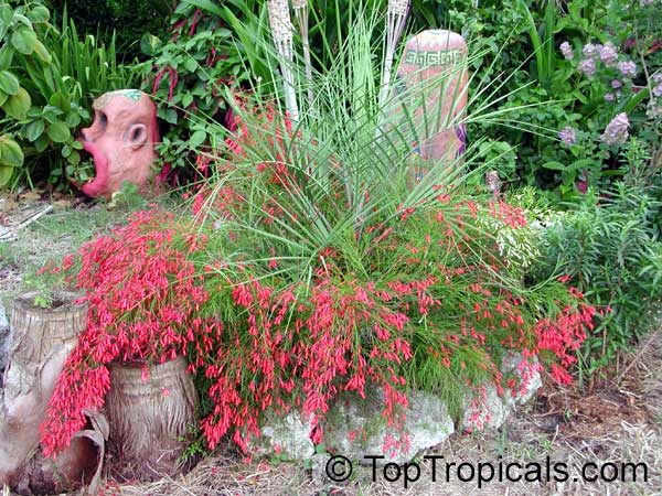 Rusellia in planter with palm