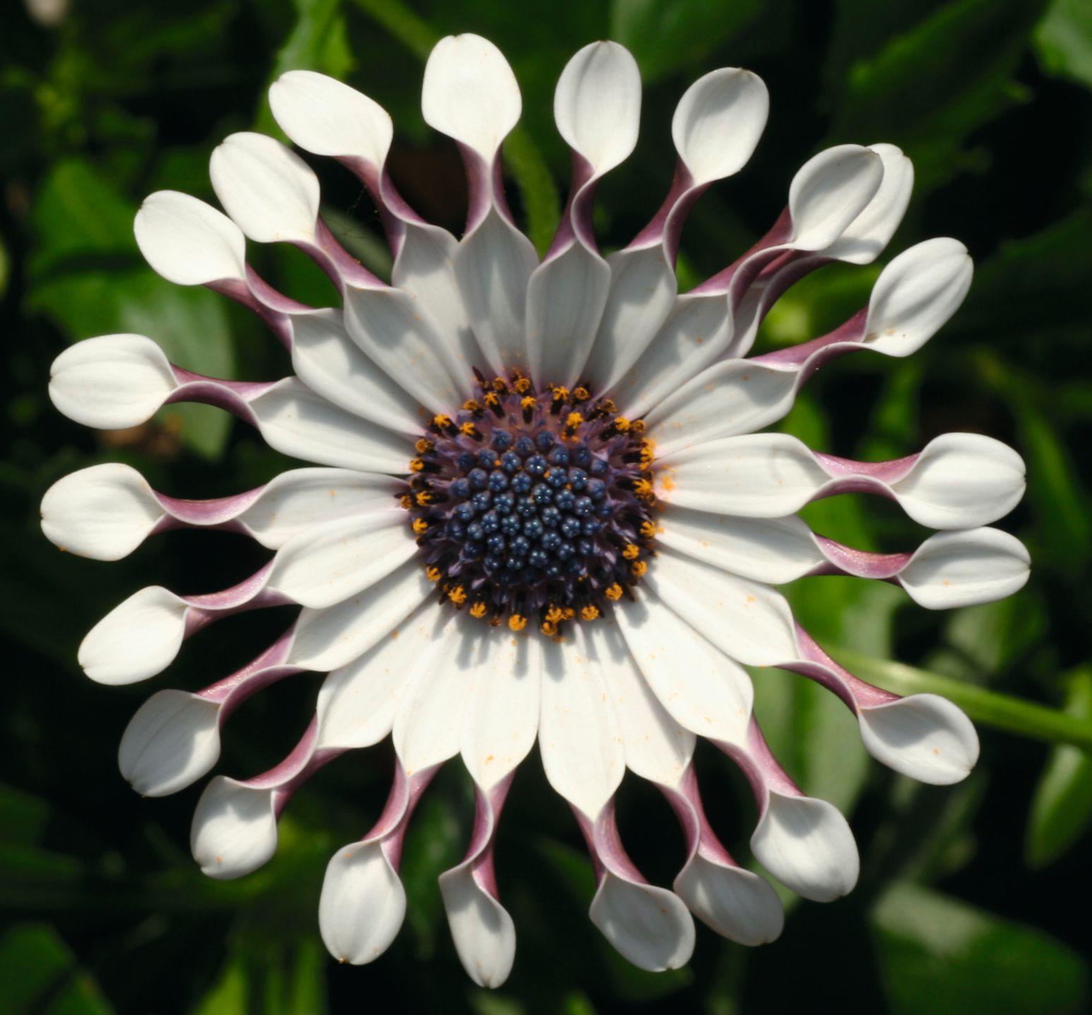 Osteospermum FlowerPower Spider White