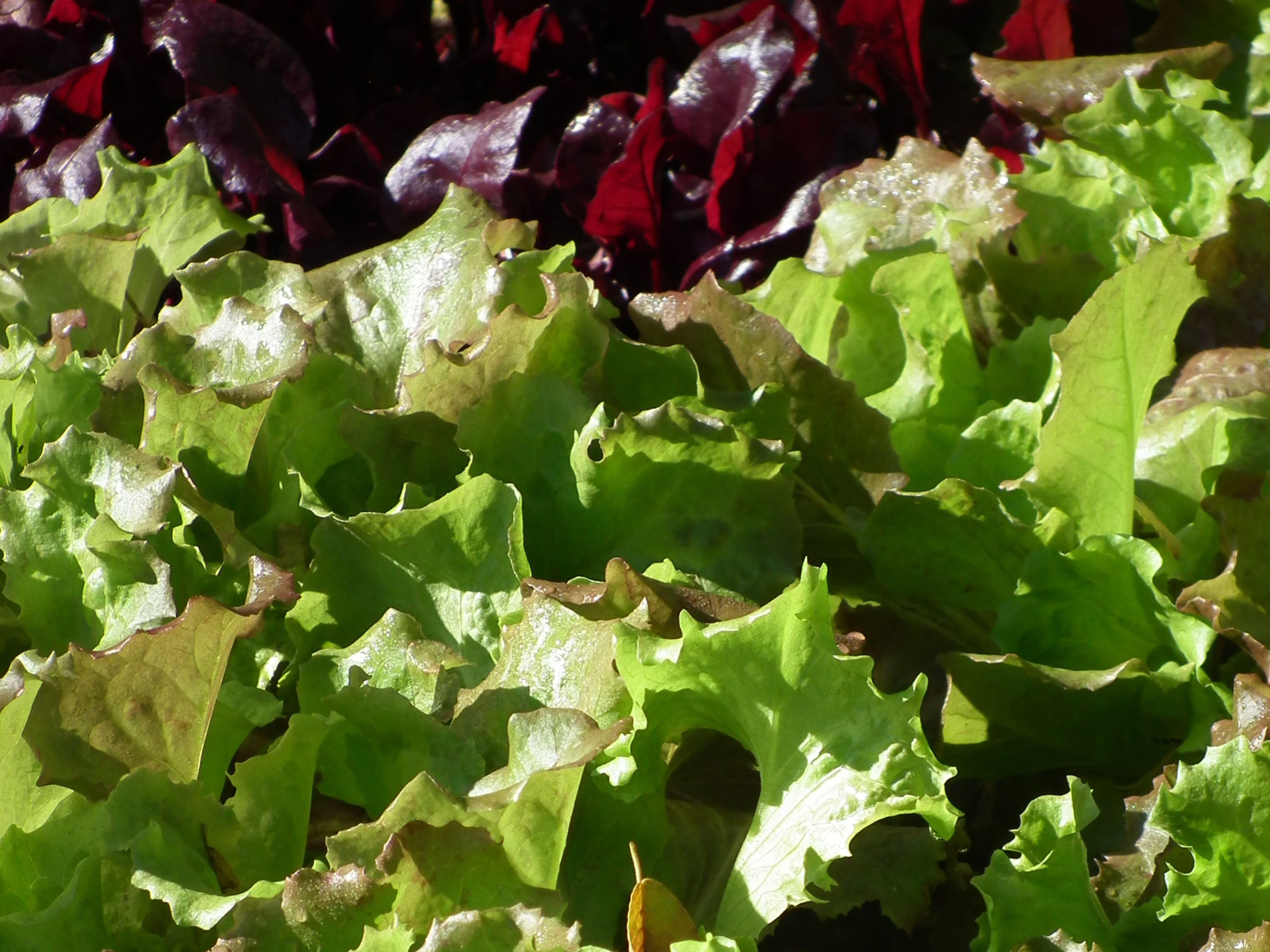 mixed green and red leaf lettuces